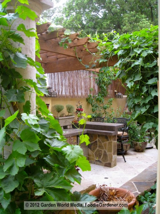 Kitchen garden with grape vine growing on shade structure foodie gardener