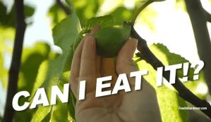 Fig Fruit Growing on Tree Ready To Harvest Foodie Gardener