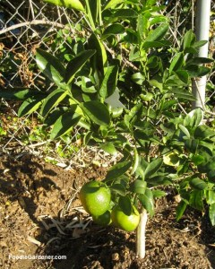 small citrus tree planted in ground