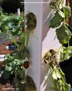 Shirley Bovshow Strawberry Post Vertical Garden Foodie Gardener