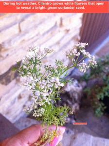 cilantro flowers green seed pods