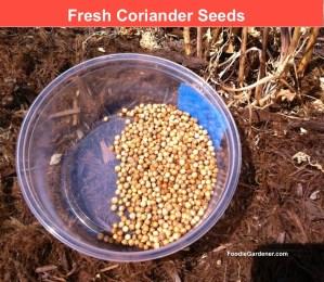freshly harvested coriander seeds