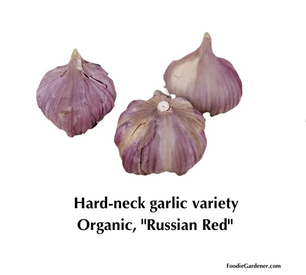 hard neck garlic variety organic russian red foodie gardener