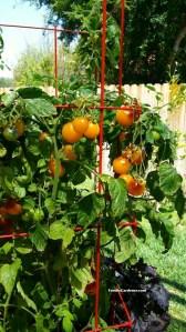 Yellow Tomato Indigo Sun Burpee Home Gardens on Foodie Gardener