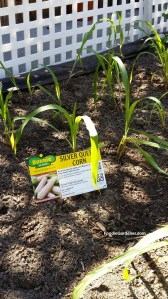silver queen white corn by bonnie plants growing in small garden at home and family show designed by shirley bovshow foodie gardener