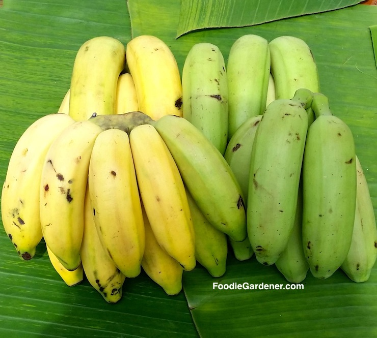 green and yellow ripe manzano bananas shirley bovshow foodie gardener