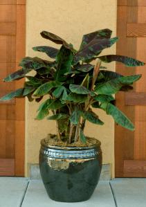 musa acuminata blood banana zebrina plant available through monrovia plants