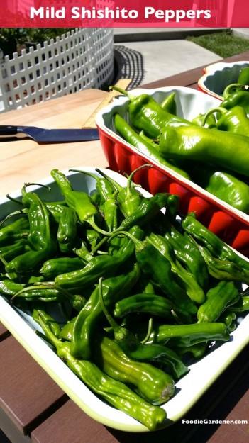 Mild shishito peppers japanese foodie gardener