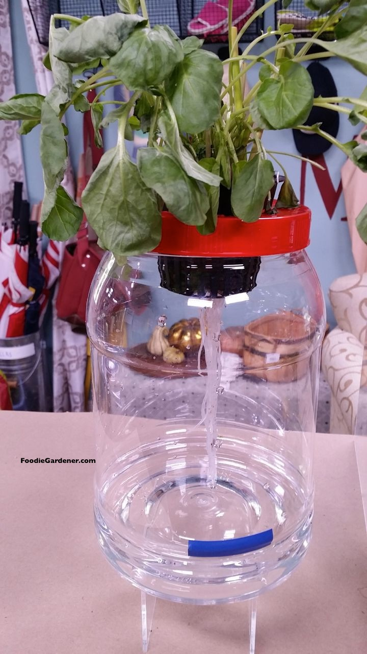 Clear container hydroponic lettuce long roots foodie gardener