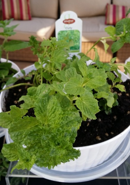 curly mint mentha crispa close up foodie gardener blog