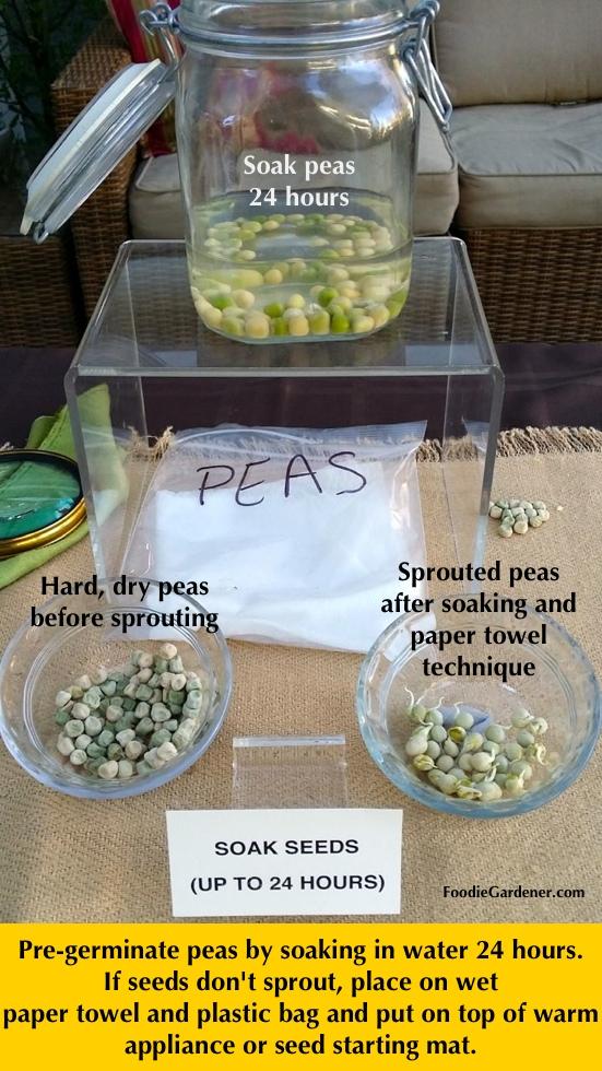 pea seeds soak in water 24 hours pre-germination tip foodie gardener blog