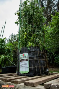 grow bag with tall tomato plant and tomato tower support system by shirley bovshow foodie gardener