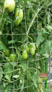 tomatoes growing through tall metal tomato support cage tomato towers shirley bovshow foodie gardener blog
