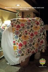 blankets-cover-tender-citrus-coffee-tea-trees-during-freezing-temperatures-in-los-angeles-foodie-gardener-blog