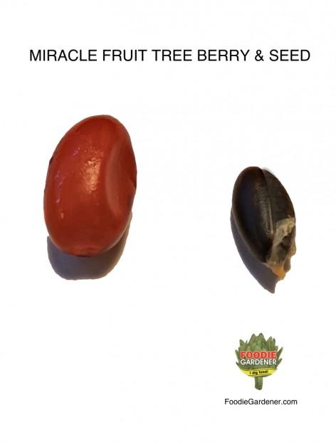 miracle-fruit-berry-clean-black-seed-FOODIE-GARDENER-BLOG
