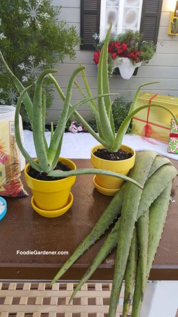 grow aloe vera in containers how to extract valuable gel the foodie gardener. Black Bedroom Furniture Sets. Home Design Ideas