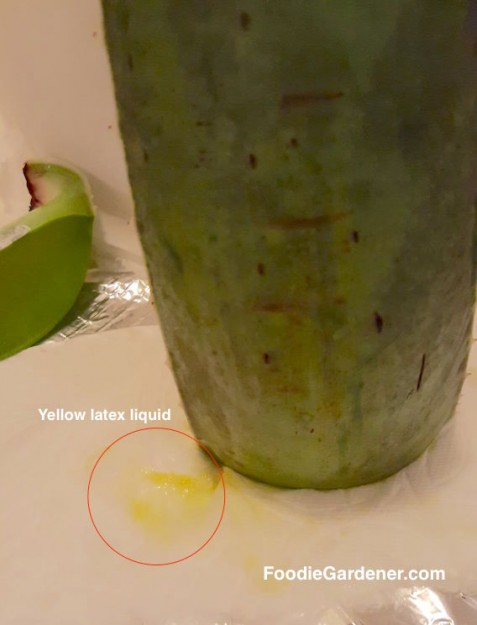 yellow-latex-liquid-from-cut-aloe-vera-leaf-is-irritating-laxative-effect-foodie-gardener-blog