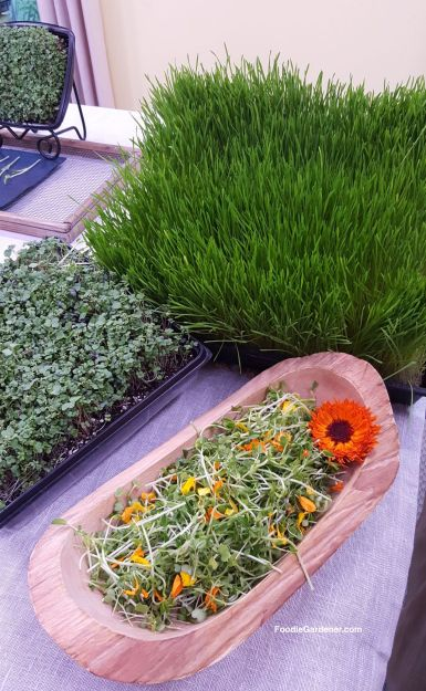 mixed-microgreen-salad-savory-micro-greens-wheatgrass-growing-foodie-gardener