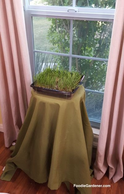 wheatgrass-growing-front-of-window-foodiegardener-blog