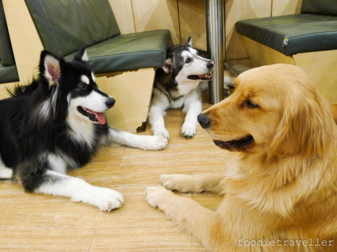 Bau House: Doggie Conference (2 Alaskan Malamutes and a Golden Retriever)