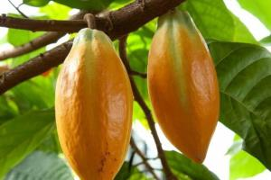 theobroma_cacao_ste_the_cac_20100413am013_crop_web