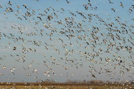 Sandhill cranes and snow geese flocking at dusk
