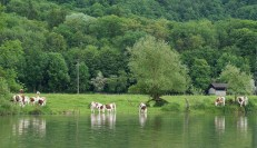 Montbeliearde cows grazing on the banks of the Doubs