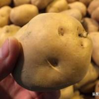 買回的新土豆,冷藏保存還是常溫保存教你1招,放1年都不發芽