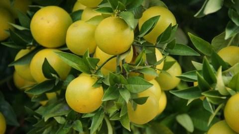 Грейпфруты на ветке