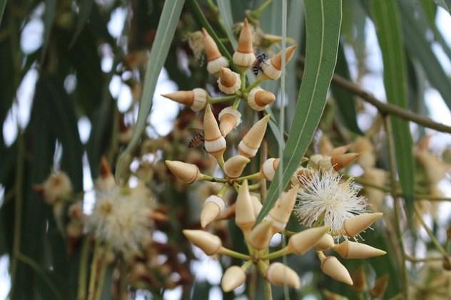 цветки эвкалипта