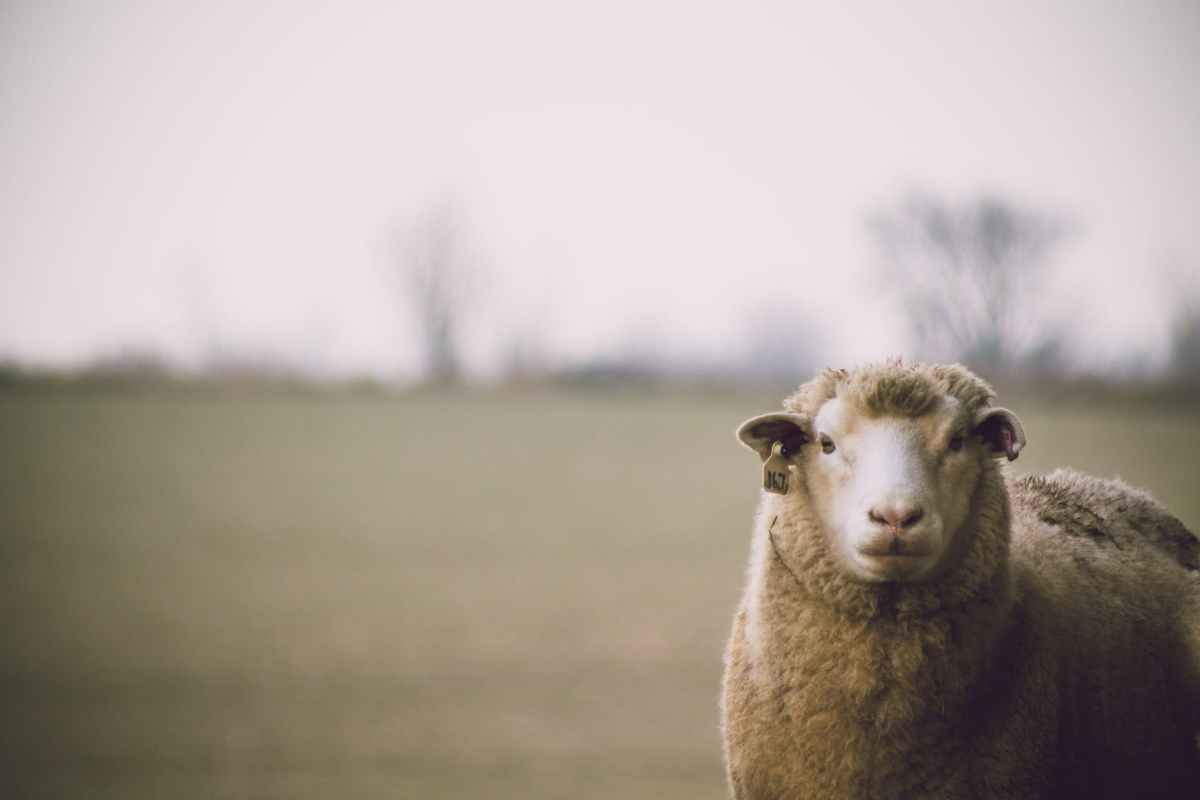 shallow focus photography of sheep