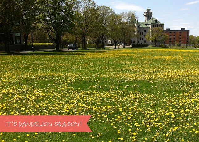 It's dandelion season! Dandelions are delicious and good for you.