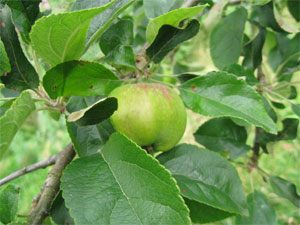 Wild apple found on park boundary