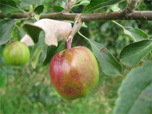 Wild apple ripening