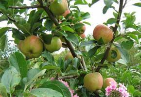 apples_ripening290