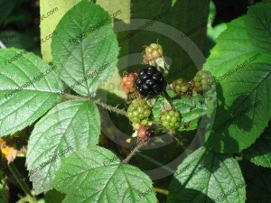 The british hedgerows are full of berries and fruits at this time of the year