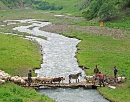 Road to Shatili - Sheep