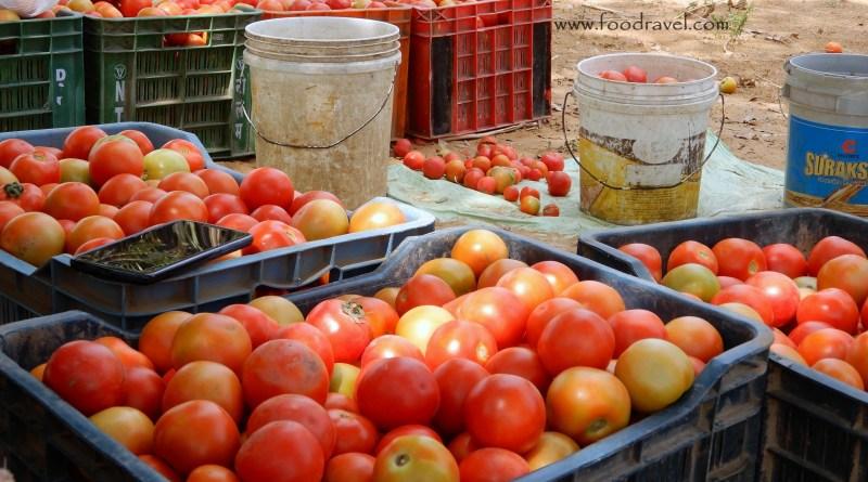 tomato farms of Mahra Village