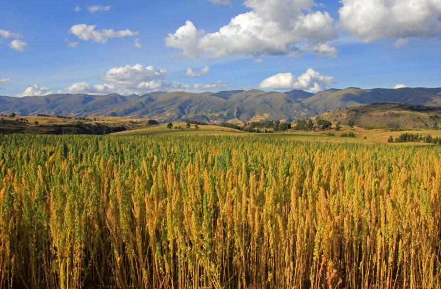 A field of quinoa growing