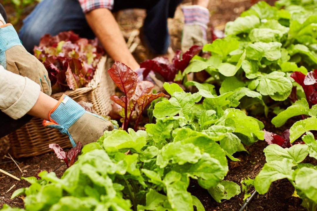 在家庭花園中收穫生菜