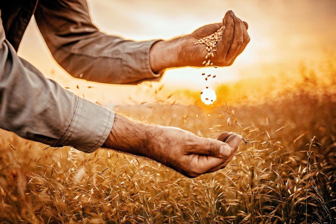 農民在日落舉行穀物