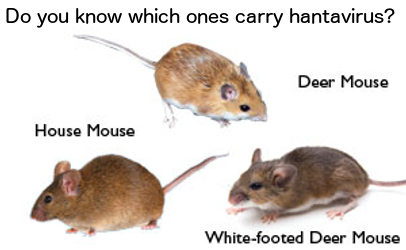 Hantavirus infection confirmed; mice can contaminate food | Food ...