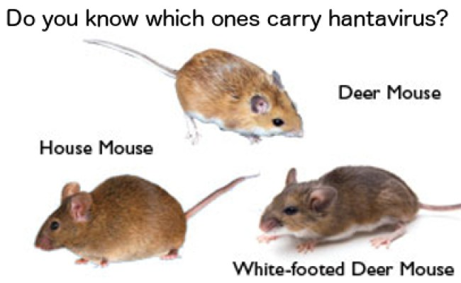 Hantavirus Infection Confirmed Mice Can Contaminate Food