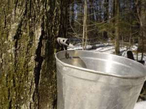 maple-tapping