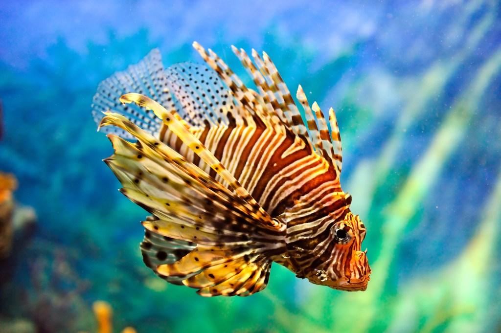 lionfish-chef-john-mirabella