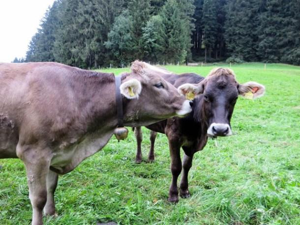 Alpenromantik - Kuh auf der Weide.