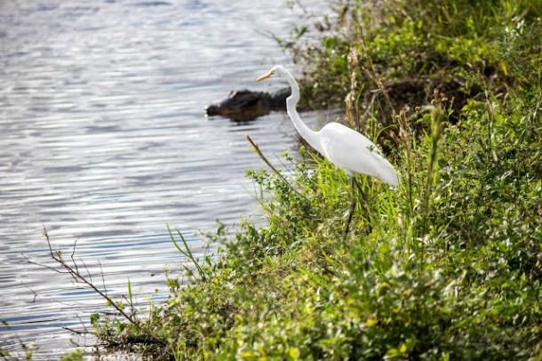 Aligator Everglades US Hwy 41