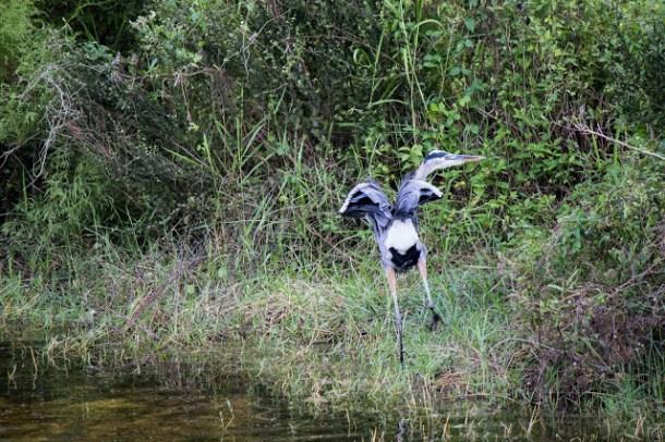 Vögel, Everglades US Hwy 41, Florida
