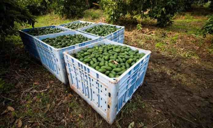Thirst for Avocado Leaves Plantations Dry – Food Tank