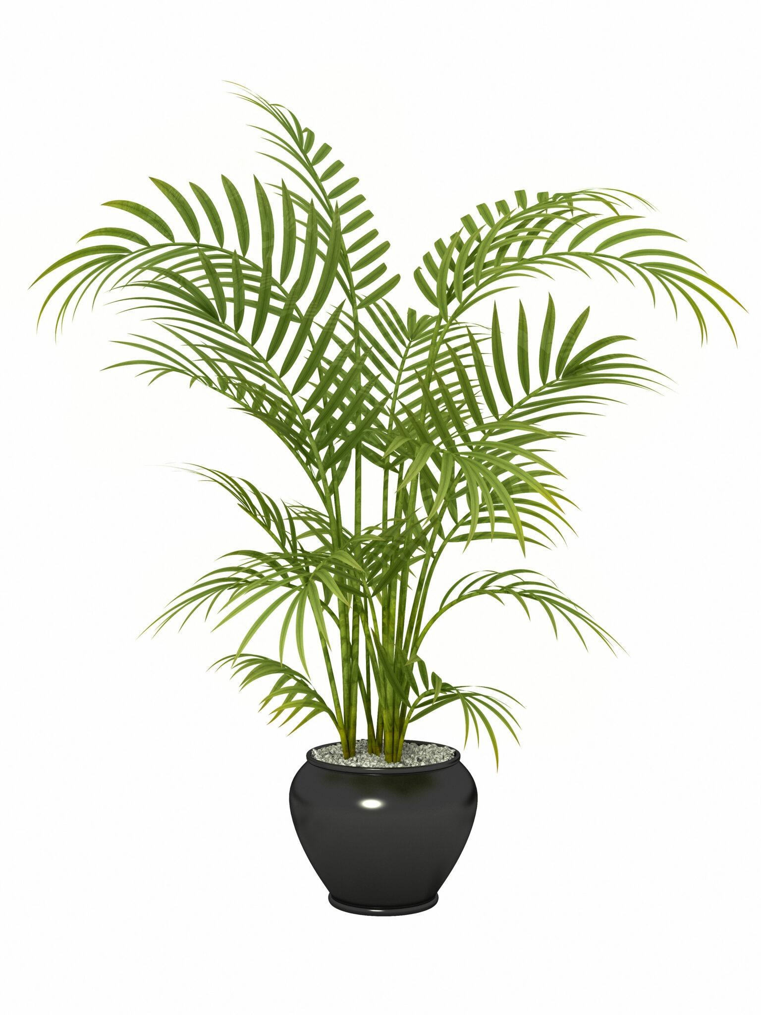 Areca Palm Air Purifying Plant And Health Benefits Foodthesiscom